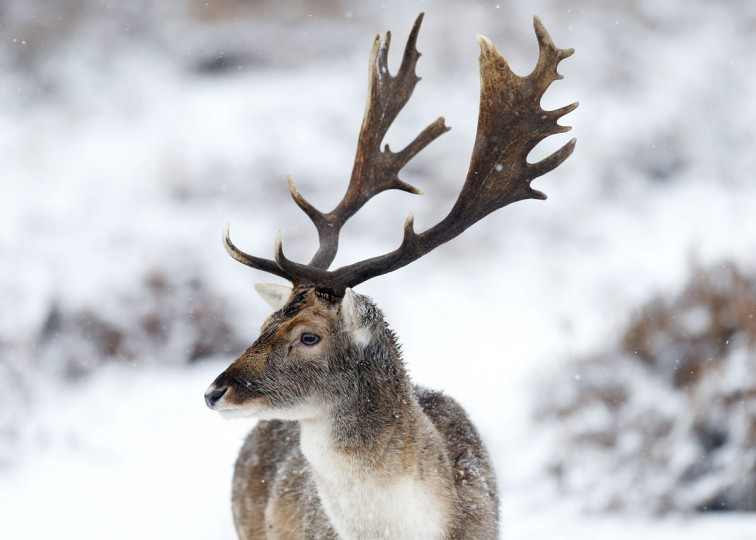 Deer stand in the snow in Richmond Park, London. A band of heavy snow affected most of Britain on Friday, bringing chaos to roads, and causing power cuts and school closures. (Andrew Winning/Reuters)