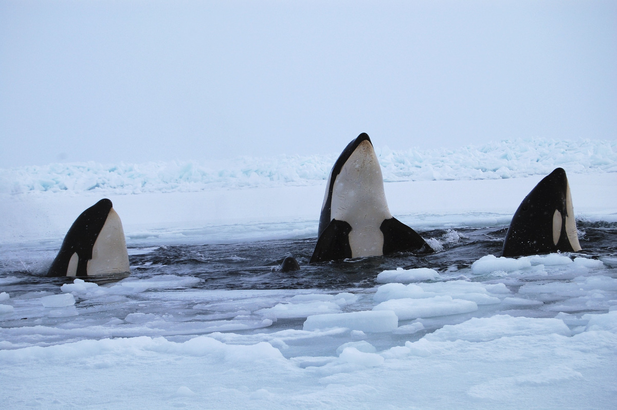 Jan. 10 Photo Brief: Whales trapped under Canadian ice, dog sled races in Poland and orthodox snowman in Israel