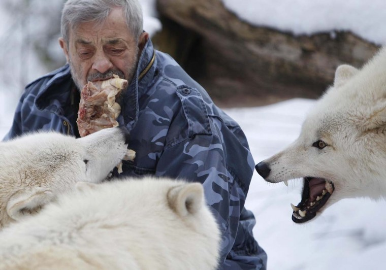 Wolf researcher Werner Freund feeds Arctic wolves with meat with his mouth in an enclosure at Wolfspark Werner Freund, in Merzig in the German province of Saarland January 24, 2013. (Lisi Niesner/Reuters)