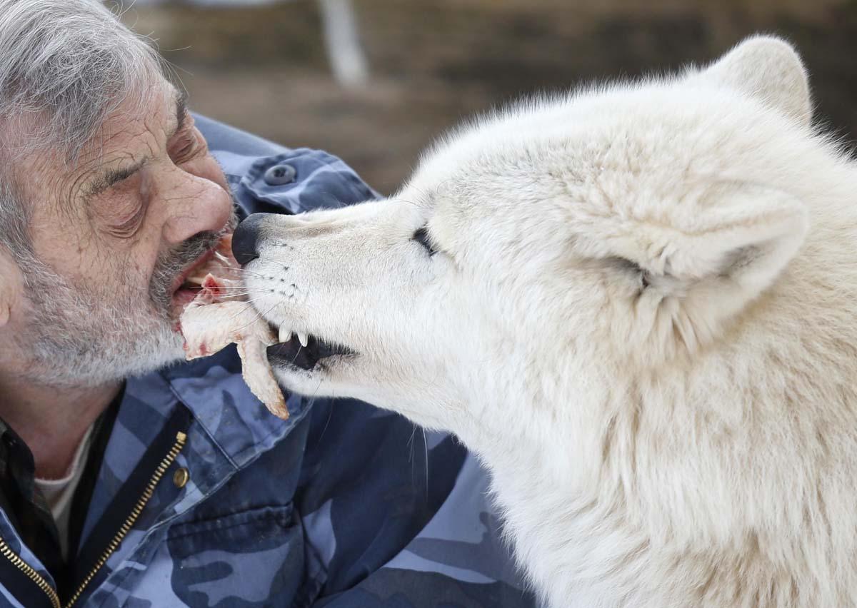 Человек волк википедия - 94f