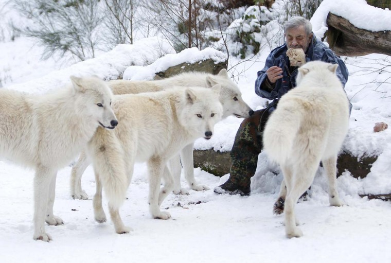 Wolf researcher Werner Freund feeds Arctic wolves with meat in an enclosure at Wolfspark Werner Freund, in Merzig in the German province of Saarland January 24, 2013. (Lisi Niesner/Reuters)
