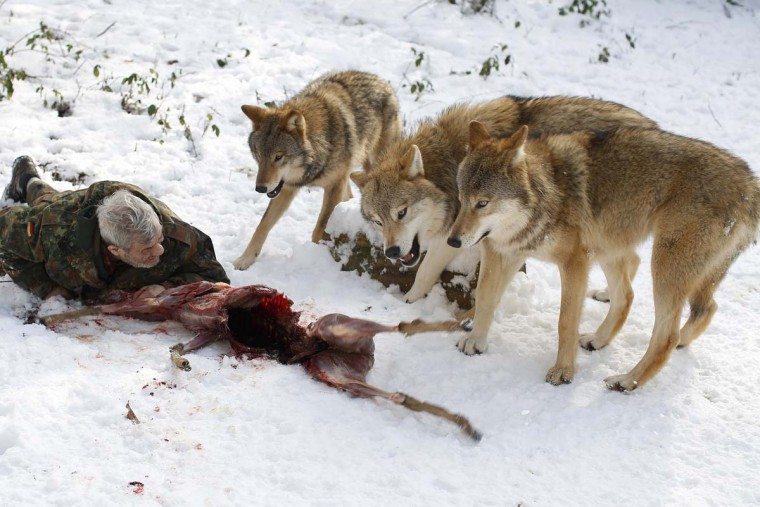 Wolf researcher Werner Freund lies on the ground next to Mongolian wolves as they devour a deer cadaver in an enclosure at Wolfspark Werner Freund, in Merzig in the German province of Saarland January 24, 2013. Werner has to behave as the wolf alpha male of the pack to earn the other wolves respect and to be accepted. (Lisi Niesner/Reuters)