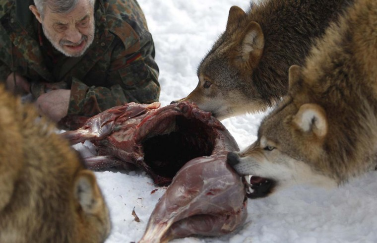 Wolf researcher Werner Freund lies on the ground next to Mongolian wolves as they devour a deer cadaver in an enclosure at Wolfspark Werner Freund, in Merzig in the German province of Saarland January 24, 2013. (Lisi Niesner/Reuters)