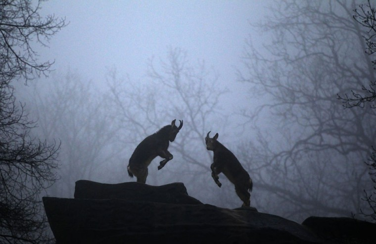 Mountain goats fight in their enclosure at the zoo in Wuppertal, Germany. (Ina Fassbender/Reuters)