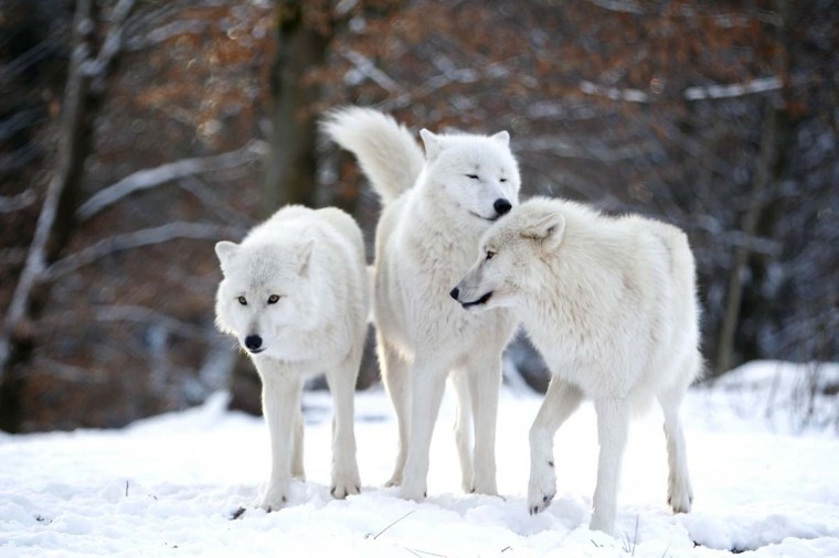 Arctic wolves stand in an enclosure at Wolfspark Werner Freund, in Merzig in the German province of Saarland January 24, 2013. Spread over 25 acres, Wolfspark is currently home to 29 wolves forming six packs from European, Siberian, Canadian, Artic and Mongolian regions. (Lisi Niesner/Reuters)