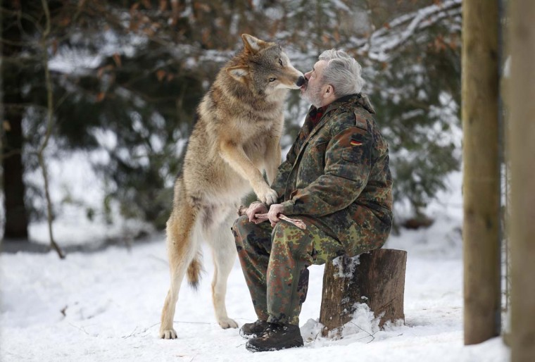 Mongolian wolf Heiko licks the mouth of wolf researcher Werner Freund in a sign of acknowledgement at Wolfspark Werner Freund, in Merzig in the German province of Saarland January 24, 2013. (Lisi Niesner/Reuters)