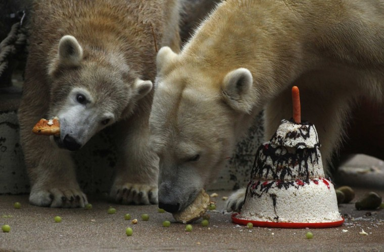 Anori (L), a one-year old polar bear, gets a birthday cake, while her mother Vilma eats bread in their enclosure at the zoo in Wuppertal, Germany. Anori was born on January 4, 2012. (Ina Fassbender/Reuters)