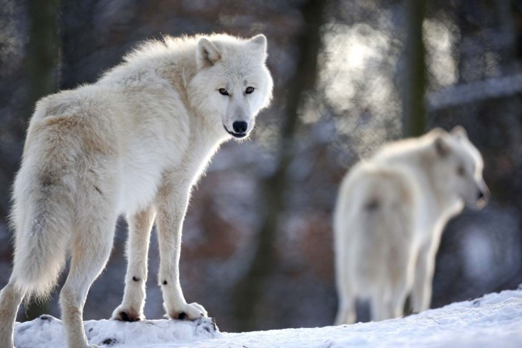 Arctic wolves stand in an enclosure at Wolfspark Werner Freund, in Merzig in the German province of Saarland January 24, 2013. (Lisi Niesner/Reuters)