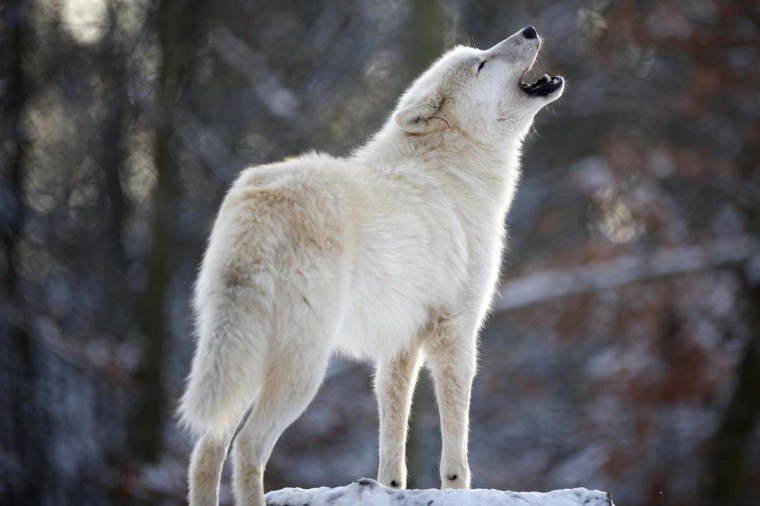 An Arctic wolf howls while standing in its enclosure at Wolfspark Werner Freund, in Merzig in the German province of Saarland January 24, 2013. (Lisi Niesner/Reuters)