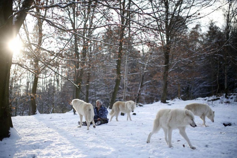 Wolf researcher Werner Freund is surrounded by Arctic wolves in an enclosure at Wolfspark Werner Freund, in Merzig in the German province of Saarland January 24, 2013. (Lisi Niesner/Reuters)