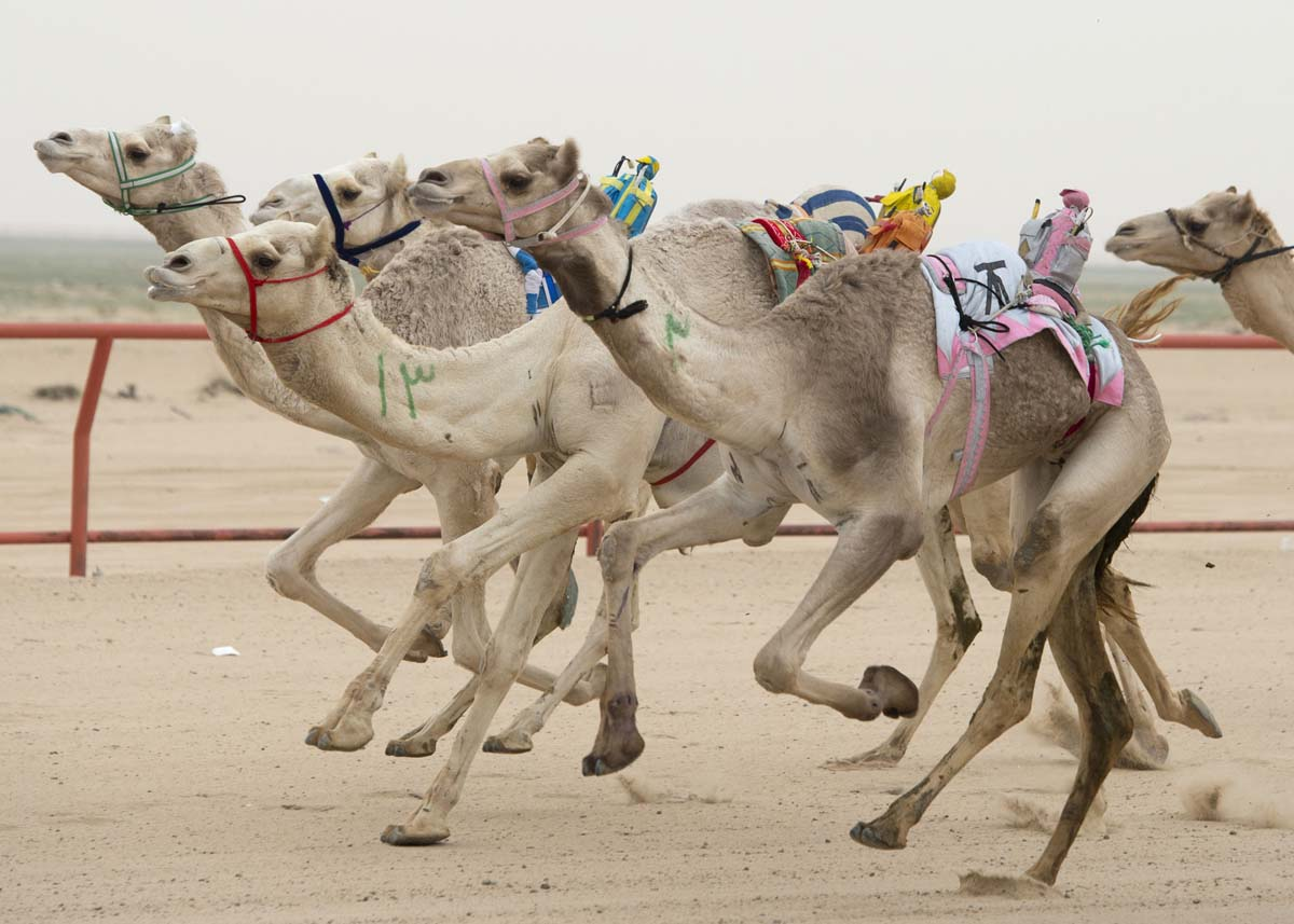 Camels ridden by robot jockeys compete during a weekly camel race at