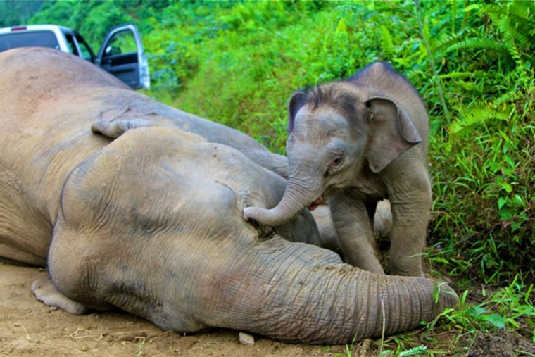 A pygmy elephant calf walks next to its dead mother in Gunung Rara Forest Reserve in the Malaysia's state of Sabah on Borneo island. Ten endangered Borneo pygmy elephants have been found mysteriously dead in Malaysia's state of Sabah on the Borneo island, as reported by Malaysia's daily The Star. The elephants were believed to have died of poisoning over the last two weeks as puzzled wildlife officials tried to find the cause of their deaths. The first elephant died on December 29 and more continued to be found dead, with the last death on January 24. REUTERS/Sabah Wildlife Department//Reuters)