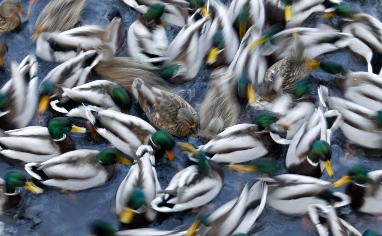 A flock of duck is being fed on a pond at the Royal Lazienki Park in Warsaw January 14, 2013. (Peter Andrews/Reuters)