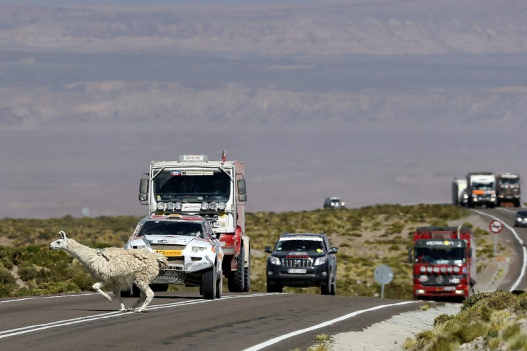 An alpaca crosses the road as drivers wait in their vehicles on the highlands of Chile en route to the Jama border crossing during the untimed 7th stage of the 2013 Dakar Rally from Calama to Salta, January 11, 2013. (Ivan Alvarado/Reuters)