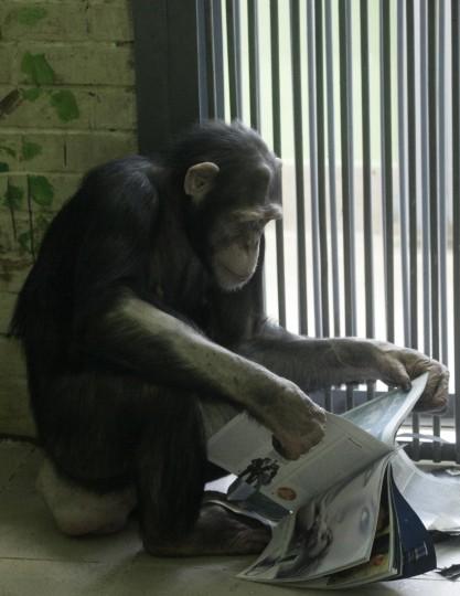 Anfisa, a 8-year-old female chimpanzee, looks at a magazine inside her enclosure where she lives with a male chimpanzee named Tikhon, at the Royev Ruchey zoo in Krasnoyarsk, Siberia. (Ilya Naymushin/Reuters)