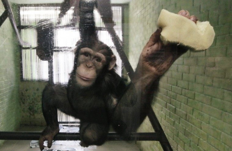 Anfisa, a 8-year-old female chimpanzee, washes a window of her enclosure where she lives with a male chimpanzee named Tikhon, at the Royev Ruchey zoo in Krasnoyarsk, Siberia. (Ilya Naymushin/Reuters)