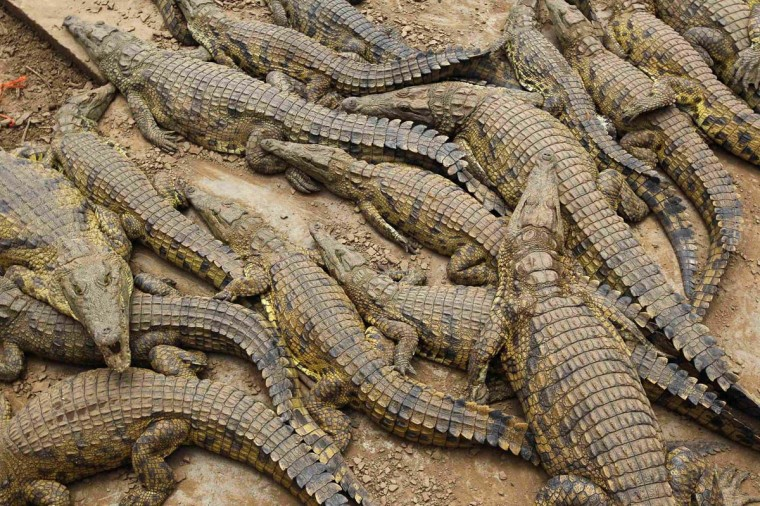 Recaptured crocodiles lie in pens after about 15,000 of the animals escaped from a crocodile farm during flooding near Mussina, on South Africa's nothern border with Zimbabwe, January 26, 2013. (Mike Hutchings/Reuters)