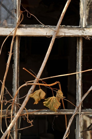 A window frame has become a trellis for the overgrown vegetation that adorns this derelict house within the Scott Settlement Historic District. This historically significant community of free African-Americans, who lived along Falls Road about a mile north of the Baltimore City boundary, dates back to the 1830's. (Amy Davis/Baltimore Sun)