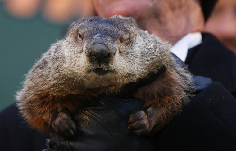 Famed weather prognosticating groundhog Punxsutawney Phil has only one eye open as he prepares to make his annual prediction on Gobbler's Knob in Punxsutawney, Pennsylvania, on the 127th Groundhog Day, February 2, 2013. An early spring was predicted as Phil did not see his shadow. REUTERS/Jason Cohn