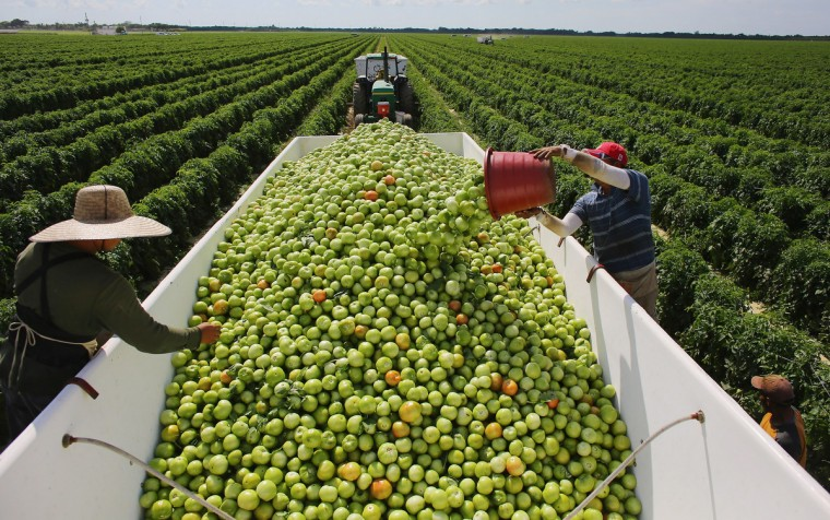 Workers fill a trailer with tomatoes as they harvest them in the fields of DiMare Farms in Florida City, Florida. The United States government and Mexico reached a tentative agreement that would go into effect around March 4th, on cross-border trade in tomatoes, providing help for the Florida growers who said the Mexican tomato growers were dumping their product on the U.S. markets. (Joe Raedle/Getty Images)