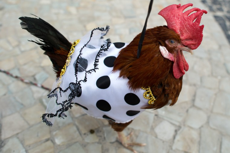 A rooster wearing carnival costume walks during the animals' carnival, in Copacabana beach in Rio de Janeiro on February 03, 2013. (Chrisophe Simon/Getty Images)