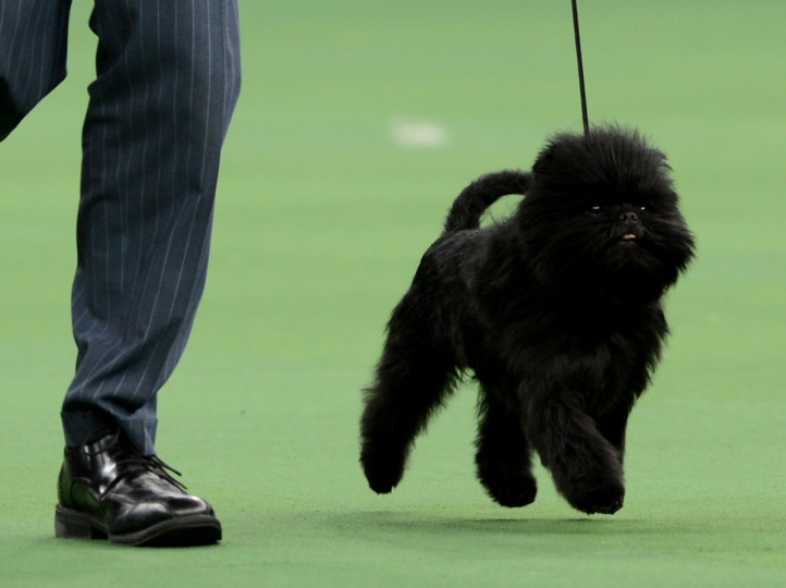 Banana Joe, an Affenpinscher, won Best of Show during the Westminster Kennel Club Dog Show at Madison Square Garden in New York. (Stan Honday/Getty Images)