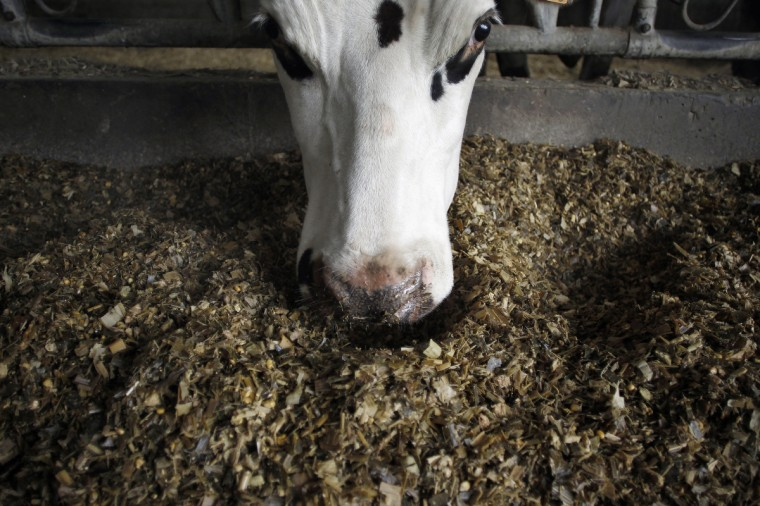 Aronde, a Normande cattle breed chosen as the official mascott of the next Paris' International Agriculture Fair in Croix-Mare, northwestern France, three days before the opening of its 50th edition that will run until March 3, 2013. (Charly Triballeau/Getty Images):