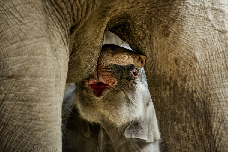 A newborn elephant drinks milk of its mother in the zoo of Copenhagen. The unnamed elephant was born early this morning. (Torkil Adsersen/Getty Images)