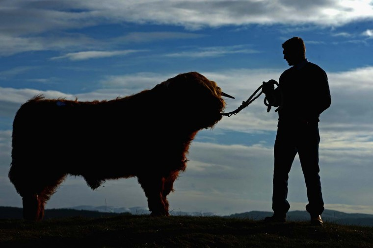 Ewan MacKay stands with 'Angus More of Glengoyne', which was sold at the 122nd Highland Cattle Society spring sale to a buyer from the United States for GBP Five Thousand on February 11, 2013 in Oban, Scotland. The show and sale is held over two days and is open to all highland breed enthusiasts, attracting many buyers from across Europe and North America. (Jeff J Mitchell/Getty Images)