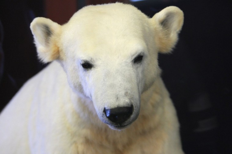 A model of Knut the polar bear, featuring his original fur, is displayed in the Natural History Museum (Naturkundemuseum) in Berlin, Germany. Though Knut, the world-famous polar bear from the city's zoo abandoned by his mother and ultimately immortalized as a cartoon film character, stuffed toys, and more temporarily as a gummy bear, died two years ago, he will live on additionally as a partially-taxidermied specimen in the museum. (Adam Berry/Getty Images)