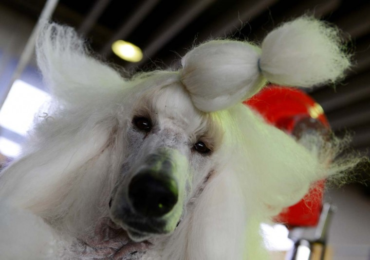 Owen, a standard Poodle, is groomed before judging at the Westminster Kennel Club Dog Show February 11, 2013 in New York. (Stan Honda/AFP/Getty Images)