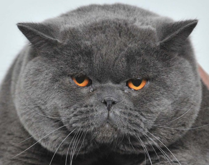 A British Shorthair cat looks on during a cat exhibition in the Kyrgyzstan's capital Bishkek on February 16, 2013. Cats owners from Kyrgyzstan, Kazakhstan and Uzbekistan gathered today in Bishkek to show off their pets. (Vyacheslav Oseledko/AFP/Getty Images)