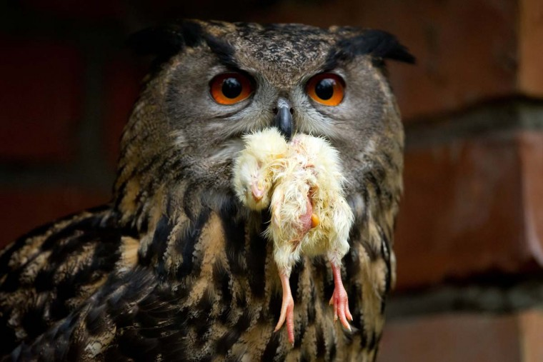 An eagle owl holds a chick at the Schwarze Berge wildlife park in Hamburg, northern Germany, on February 28, 2013. All animals of the park were counted, measured and weighed during an annual inventory. (Sven Hoppe/AFP/Getty Images)