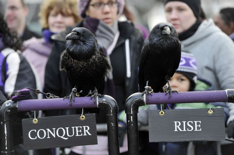 Conquer and Rise, mascot ravens, are among the guest appearing on segments with Natalie Morales, a 'Today Show' anchor, during the show's broadcasts from the Inner Harbor. (Kim Hairston/Baltimore Sun)