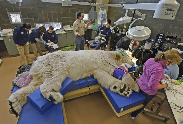A sleeping giant, Boris the Polar bear underwent a full physical exam at the Point Defiance Zoo & Aquarium's animal hospital in Tacoma, Washington, as a team of veterinarians, technicians and staff also performed a root canal and some minor eye surgery on the 27-year-old polar bear. (Dean J. Koepfler/Tacoma News Tribune/MCT)