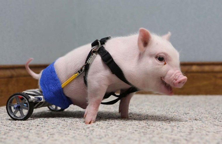 Chris P. Bacon, pictured February 12, 2013, at Eastside Veterinary Hospital in Clermont, Florida, was born without the use of his hind legs. Last month, the pig's owner turned the piglet over to a Clermont vet who decided to help the little guy. Dr. Len Lucero took the pig home and made a wheelchair for him using toy parts. (Tom Benitez/Orlando Sentinel/MCT)