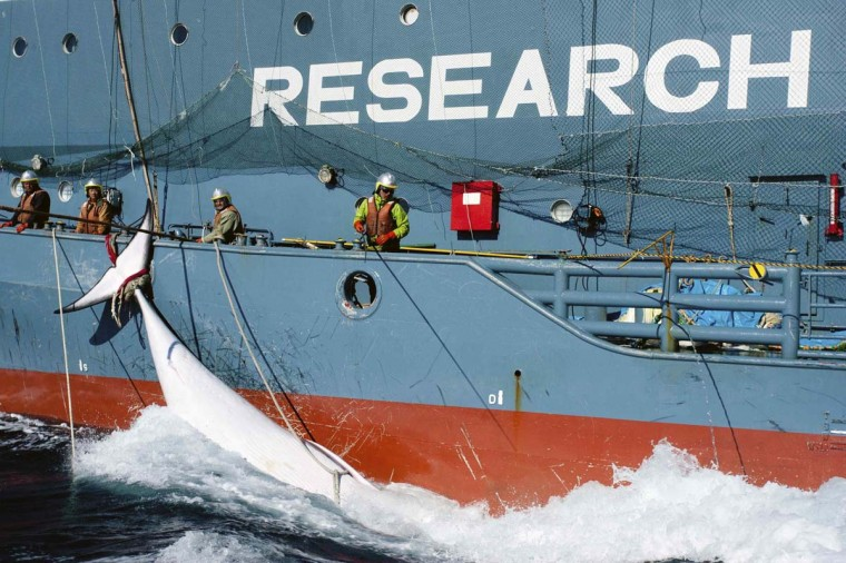 A whale tied to the side of Japanese Research vessel Yushin Maru No. 2 is dragged through the ocean in Mackenzie Bay, Antarctica, in this picture provided by Sea Shepherd Australia and taken February 15, 2013. Anti-whaling activists of the Sea Shepherd Conservation Group unsuccessfully tried to intervene in the transfer of the whale from a Japanese whaling vessel to another for more than nine hours, according to Sea Shepherd Conservation Group. Picture taken on February 15. (Glenn Lockitch/Sea Shepherd Australia HO via Reuters)