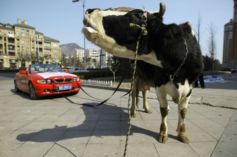 A cow is attached to a BMW car in Qingdao, Shandong province. The driver of a damaged BMW had tethered the cow to his vehicle to express his anger towards a garage which he believed not only aggravated the damages to his car, but had also refused to compensate him for it. (China Daily)