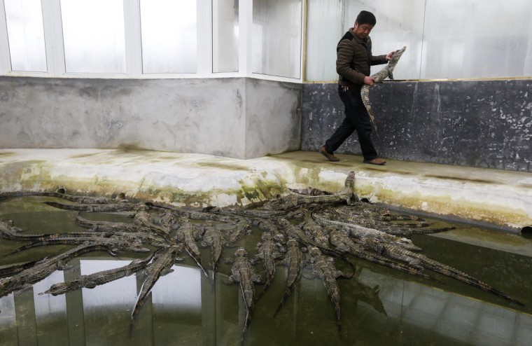An employee prepares to release a Yangtze alligator into a pool after examining its physical condition inside a greenhouse at a conservation area in Huzhou, Zhejiang province. Around 50 Yangtze alligators, aged 5-7, will be reintroduced to the wild in early April. (William Hong/Reuters)