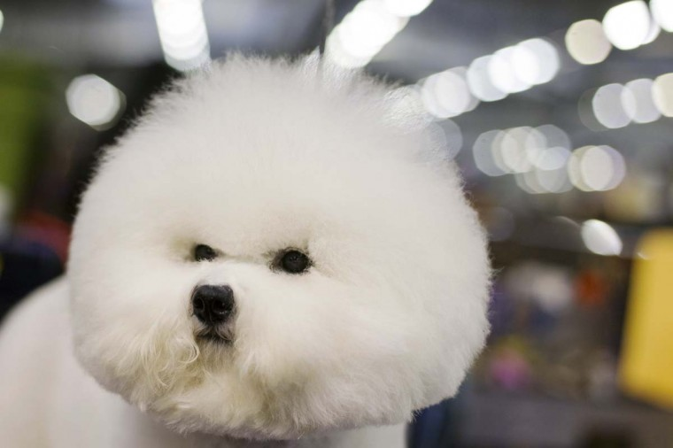 A Bichon Frise stands in the grooming area during the 137th Westminster Kennel Club Dog Show in New York, February 11, 2013. More than 2,700 prized dogs will be on display at the annual canine competition. Two new breeds, the Russell terrier and the Treeing Walker coonhound, will be introduced in the contest. (Lucas Jackson/Reuters)