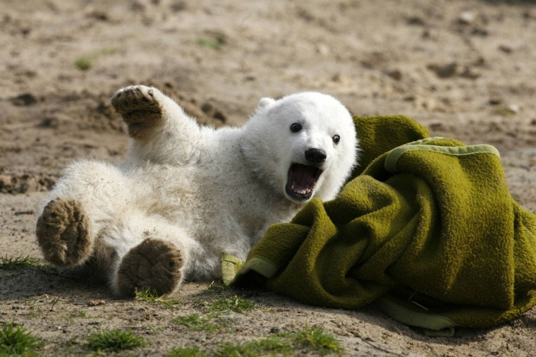 File picture shows polar bear cub Knut playing with a blanket during the bear's first presentation in Berlin zoo March 23, 2007. Knut, the hand-reared polar bear who captured Germans' hearts before his early death in 2011, returns to his adoring Berlin public on February 15, 2013 as a life-sized model with the bear's real fur. The sculpture will be shown for four weeks to the public starting on February 16. (Arnd Wiegmann/File/Reuters)