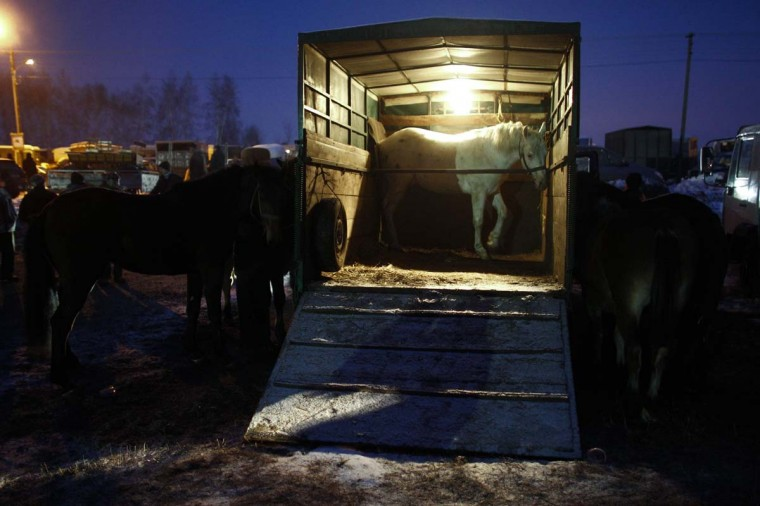Horses are standing inside and outside of a truck during early morning hours at Skaryszew horse fair February 18, 2013. Polish animal rights campaigners heckled traders at one of Europe's biggest horse-trading fairs on Monday to try to prevent them selling the animals for meat. Horse breeders have been coming to the open-air fair on the same day every year for the past three centuries, but the tradition is under pressure from activists and, this year, from concern about the Europe-wide trade in horse meat. (Peter Andrews/Reuters)