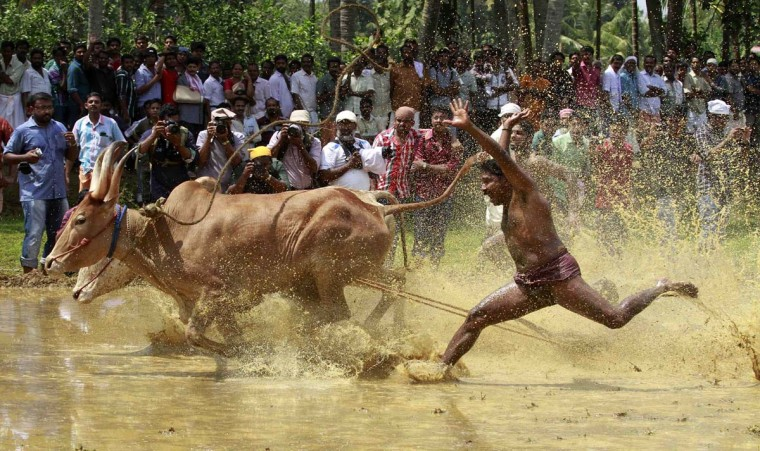 "A farmer loses control over his pair of oxen as they race through a paddy field during the ""Kakkoor Kalavayal"" festival at Kakkoor village, on the outskirts of the southern Indian city of Kochi, February 18, 2013. The post-harvest festival is celebrated by the farmers of Kakkoor and the surrounding villages. (Sivaram V/Reuters)"