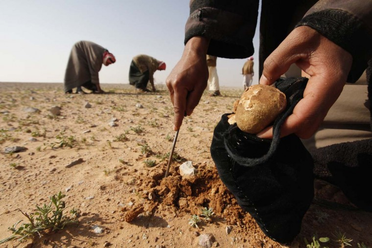 A man collects Terfeziaceae, or desert truffles, in a desert south of Samawa, 168 miles south of Baghdad February 10, 2013. Truffles are expensive at $45 per kilogram, and are considered a delicacy in Iraq. Men search for truffles, which can be found between the months of February and March, by themselves in the remote areas of the desert. Picture taken February 10, 2013. (Mohammed Ameen/Reuters)