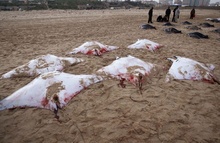 Palestinians stand next to Devil Rays laid on a beach in Gaza City February 28, 2013. Gaza fishermen have caught more than 200 Devil Rays over the past two days, a rare haul that was proudly displayed on the beach before being carried off to market on donkey carts. (Ahmed Zakot/Reuters)