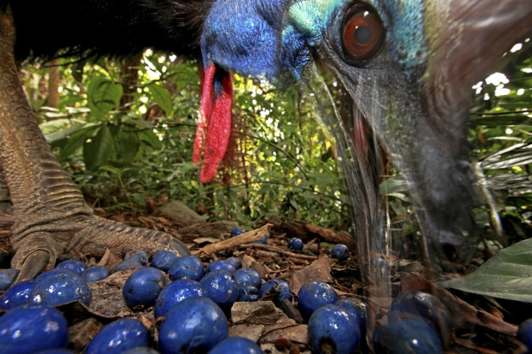 #17: Christian Ziegler of Germany has won the first prize in the Nature Single category of the World Press Photo Contest 2013 with this picture of an endangered Southern Cassowary feeding on the fruit of the Blue Quandang tree in Black Mountain Road, taken on November 16, 2012 and distributed by the World Press Photo Foundation February 15, 2013. (Christian Ziegler/World Press Photo/Handout/Reuters)