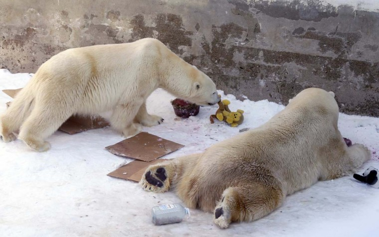 Polar bears Uslada (L) and Menshikov investigate the contents of a parcel that was delivered into their enclosure for International Polar Bear Day at a Zoo in St.Petersburg February 24, 2013. International Polar Bear day is marked on February 27 to draw attention to the issues endangering polar bears. (Alexander Demianchuk/Reuters)