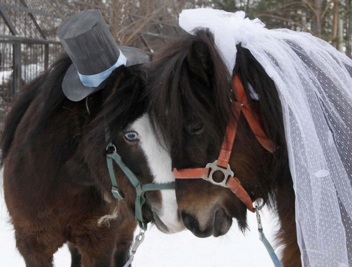 Male Shetland pony, Silver (L), and female, Zorka, are seen dressed up as a groom and bride at the Royev Ruchey Zoo, on the suburbs of Russia's Siberian city of Krasnoyarsk, February 14, 2013. Employees of the zoo arranged a wedding between the ponies to mark Valentine's day. (Ilya Naymushin/Reuters)