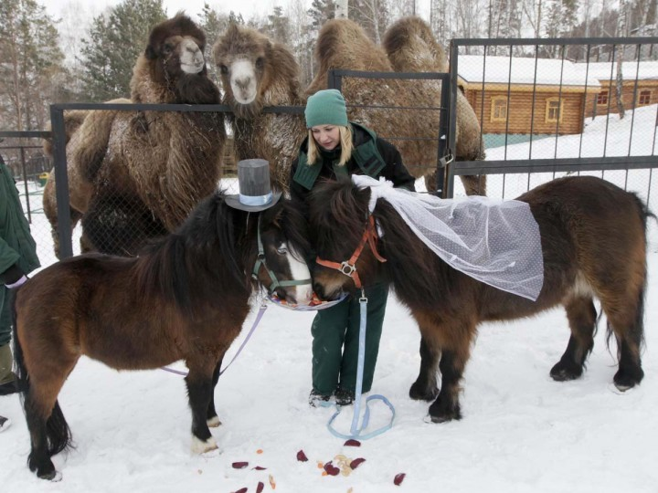 Camels watch as an employee of Royev Ruchey Zoo feeds treats to male Shetland pony, Silver (L), and female, Zorka, dressed up as a groom and bride at the suburbs of Russia's Siberian city of Krasnoyarsk, February 14, 2013. Employees of the zoo arranged a wedding between the ponies to mark Valentine's day. (Ilya Naymushin/Reuters)