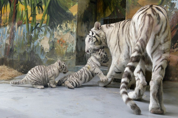 A female White tiger (Panthera tigris) named Shilang and her cubs are seen after a medical examination by veterinary surgeons at Bratislava Zoo. The three white tiger cubs, a male named Adzaj and two females Adisa and Asira were presented to the media for the first time on Friday. (Radovan Stoklasa/Reuters)